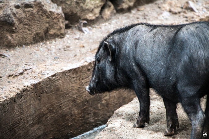Black pigs in Kalinga