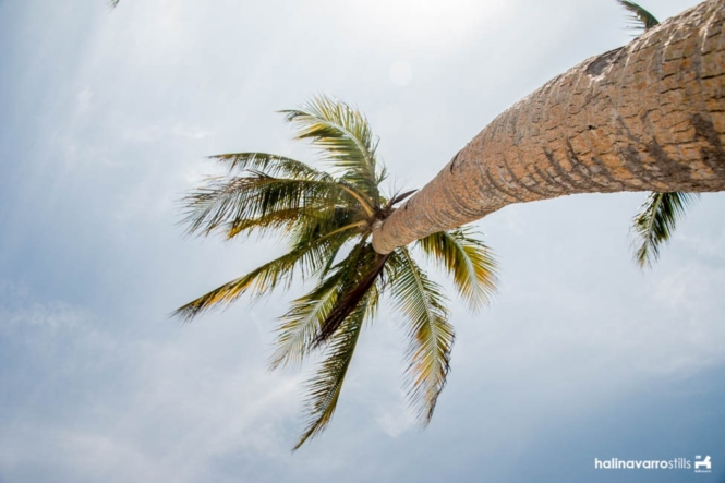 Coconut tree in Carabao Island