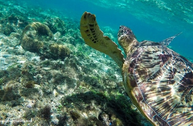 Swimming with turtles in Apo Island, Philippines