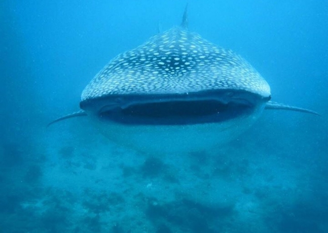 Things to do in Maldives - swimming with whalesharks1