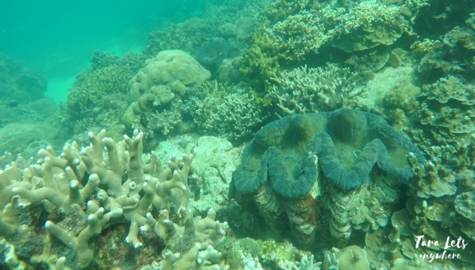Giant clams in marine sanctuary in Nasugbu, Batangas