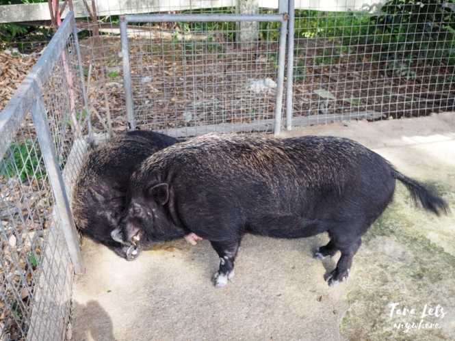 Pot bellied pigs in Lily Vacation Farm House