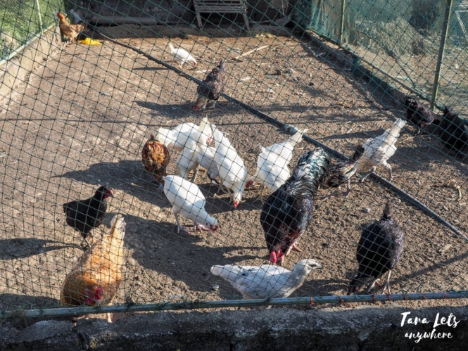 Costales Nature Farms - chickens