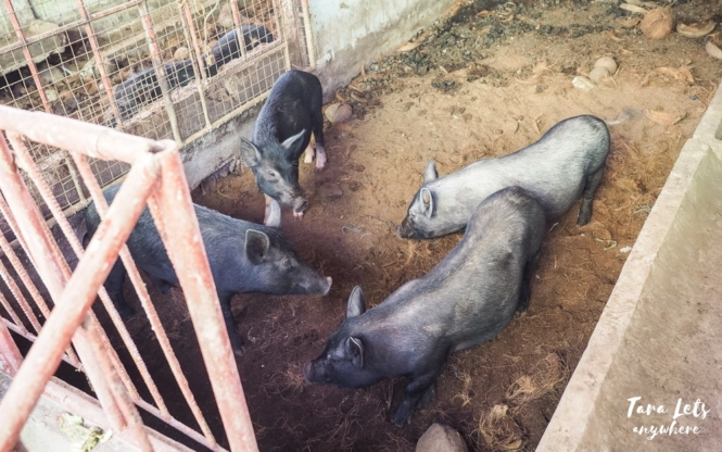 Costales Nature Farms - pigs