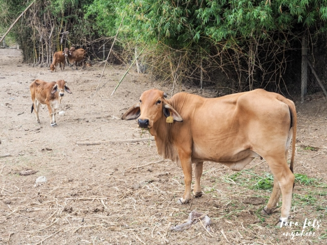 Ataalaya Farmhouse - cows in the farm