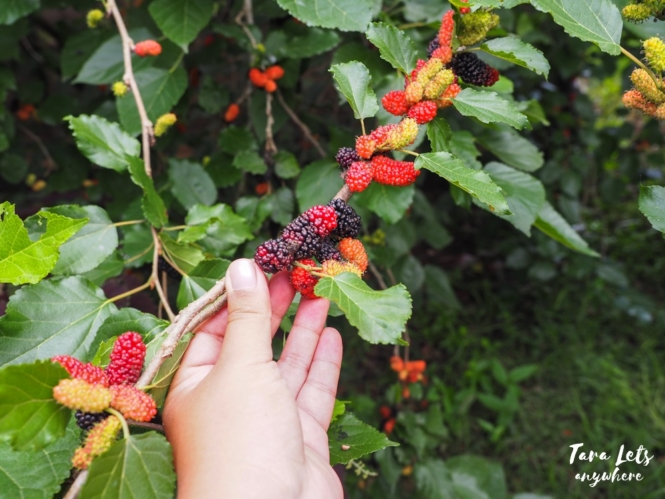 Yoki's Farm mulberry fruit