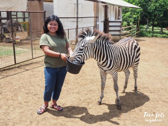 Yoki's Farm zoo - feeding the zebra
