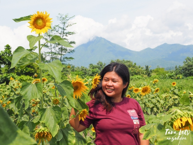 Sunflower farm in Adelaida Farm and Resort, Tabaco City