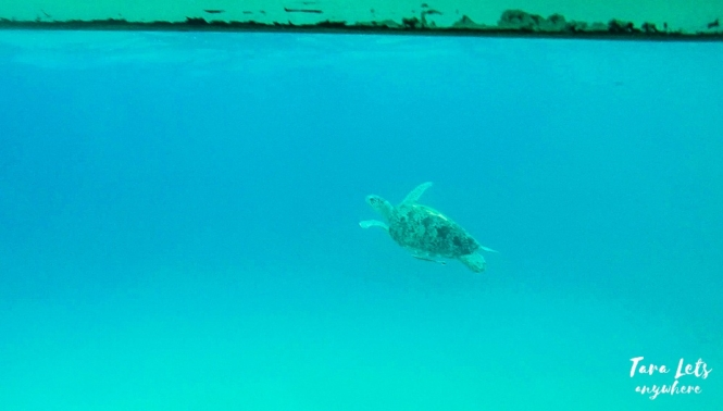 Sea turtle in Masasa Beach