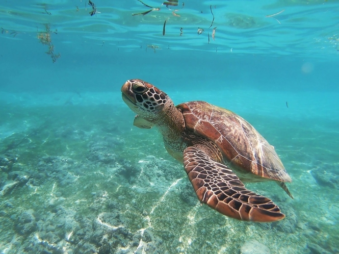 Turtle sighting in Moalboal, Cebu