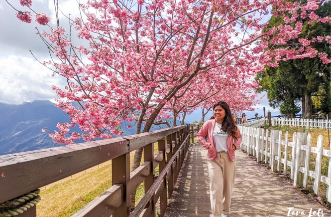 Cherry blossoms in Qingjing Farm in Nantou